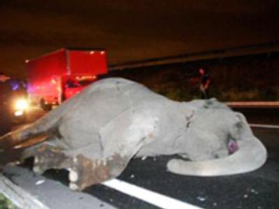 Runaway elephant dies hit by a bus