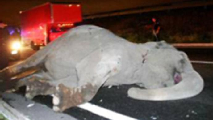 Runaway elephant dies hit by a bus