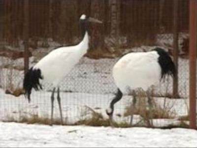 Russian rare bird breeding centre saves endangered species