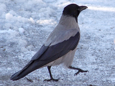 Russian angry birds: Crows 'attack' MPs cars with stones
