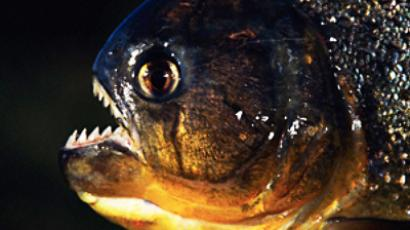 Giant piranha caught in southern Russia