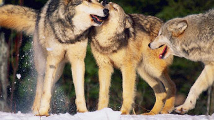 Siberian hunters chase 400-strong wolf pack