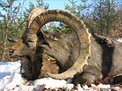 Poaching probe to sort sheep from goats