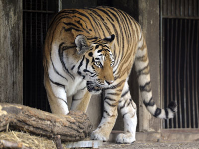Siberian tiger kills zookeeper in Germany