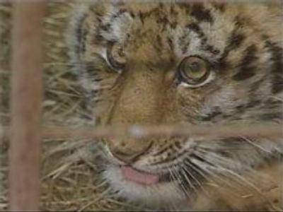 Tiger cub saved from poachers