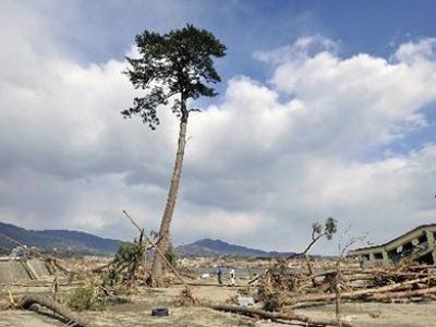 Still standing: tree beacons hope to Japan
