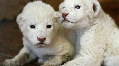 Three rare white Bengal cubs in Czech zoo to be named (PHOTOS, VIDEO)