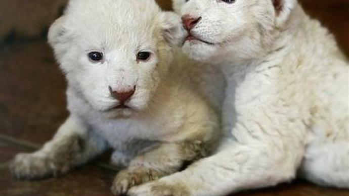 Rare lion cubs born in Belgrade Zoo