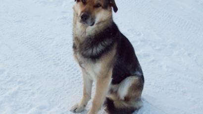 Stray dog hunters threaten to kill 'Yakutian Hachiko'