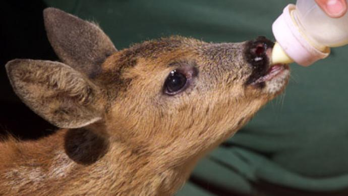 Indiana couple facing jail for saving baby deer
