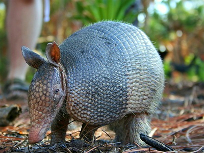Armadillos may be spreading leprosy in America