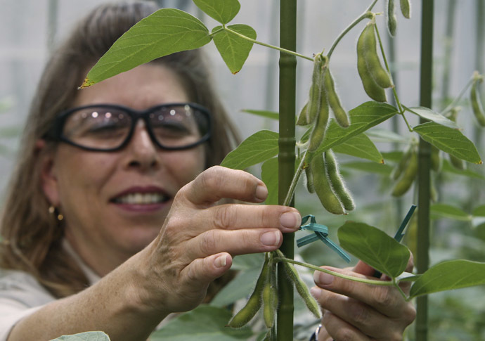Soybean Plant Specialist Nancy Brumley ties up a soybean stalk in the soybean greenhouse at the Monsanto Research facility in Chesterfield, Missouri (Reuters)