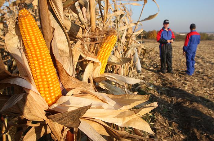 Employees of a farm complex on the edge of a cornfield in the Kaliningrad Region, Russia (RIA Novosti / Igor Zarembo)