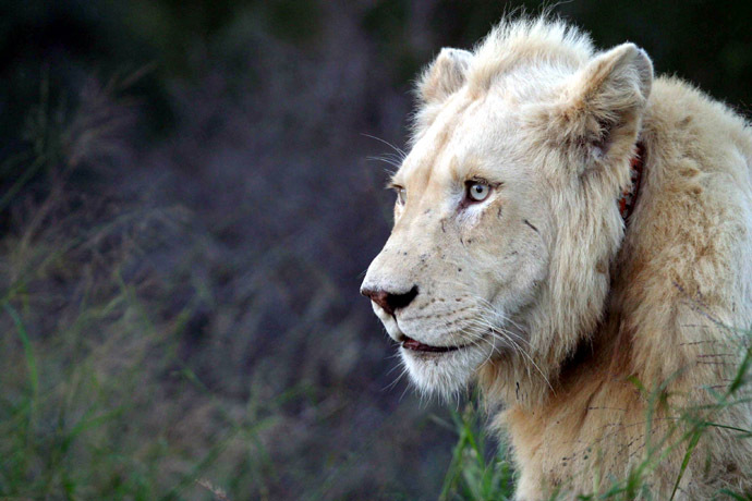 A rare white lion rests at the Global White Lion Protection Trust game reserve in Timbavati, South Africa, in this picture taken May 31, 2006. (Reuters/Antony Kaminju)