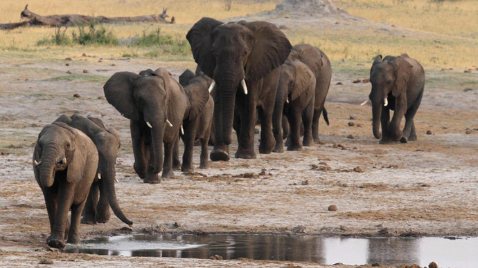 A jumbo-sized problem - Africa's elephants in peril