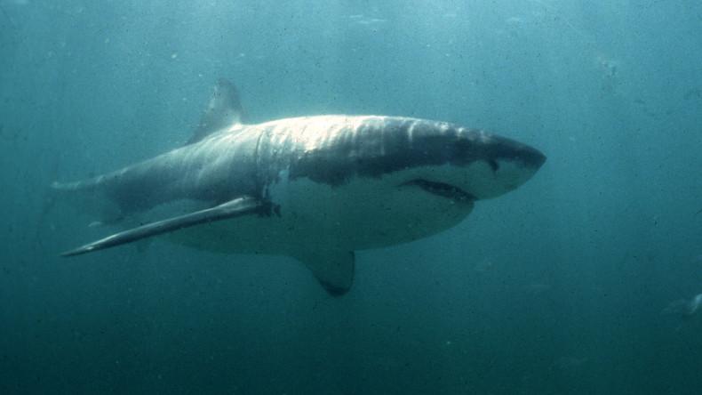 Un Plongeur Se Lie D Amitie Avec Un Grand Requin Blanc Rt En Francais