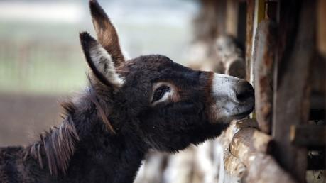Un âne dans la ferme serbe