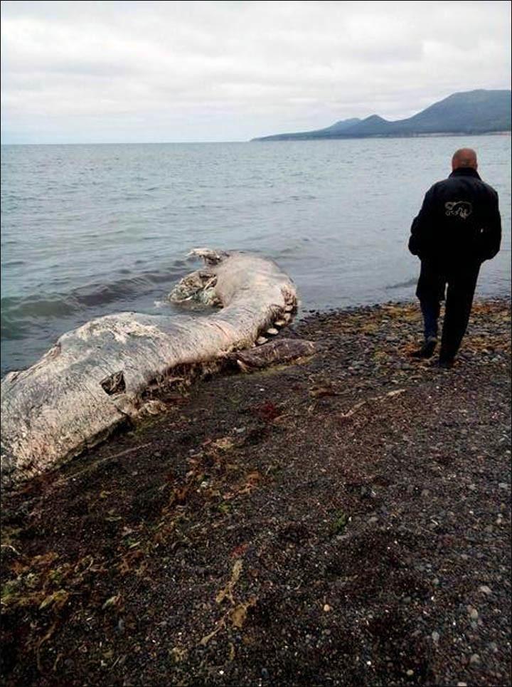 Mamouth, dauphin ou pélican ? Un très étrange animal échoué en extrême orient russe fait sensation