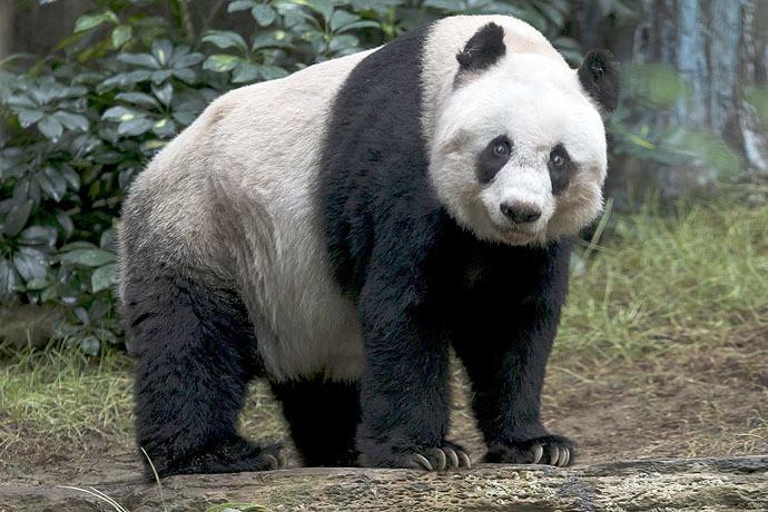 Le bambou ça conserve : Jia Jia devient le plus vieux panda du monde