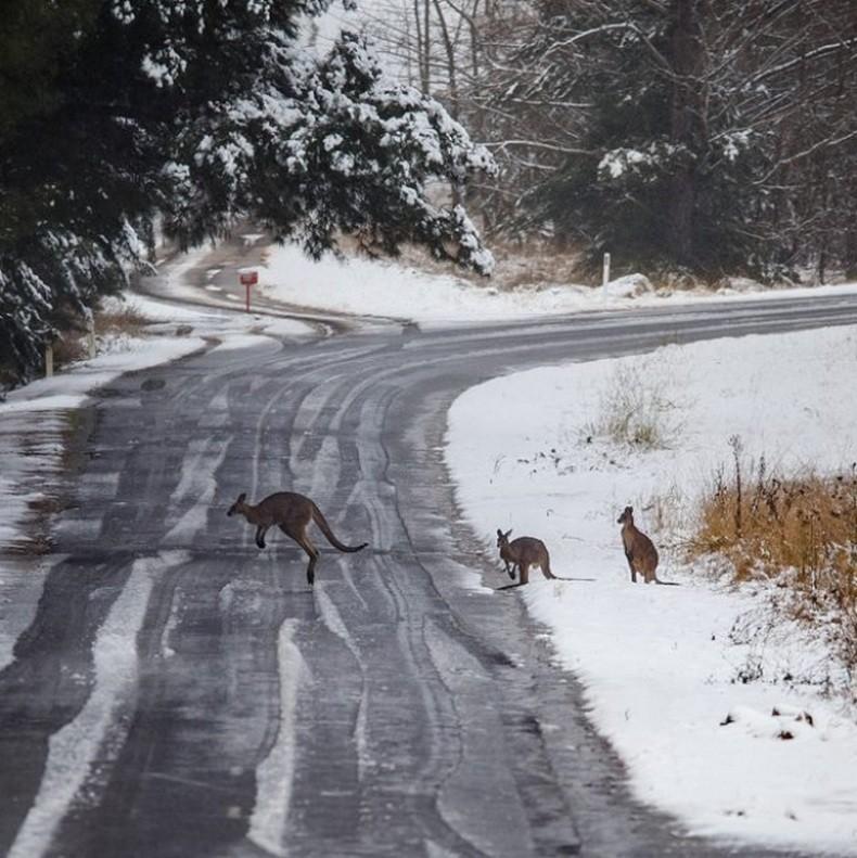 Un kangourou au milieu de la neige à Orange, Nouvelle-Galles du Sud, en Australie