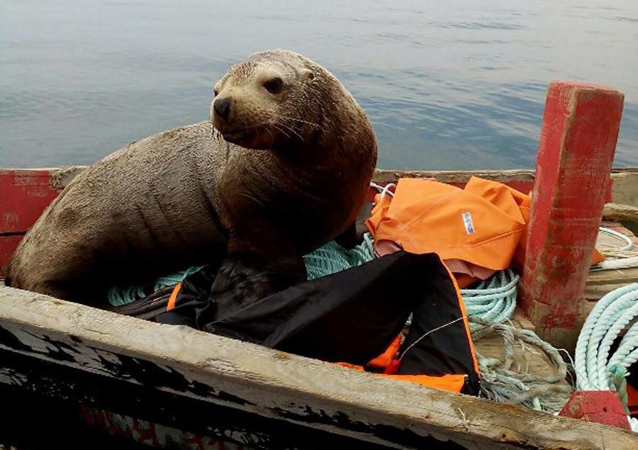 Un phoque grimpe à bord d'une barque, et navigue pendant huit heures avec les pêcheurs