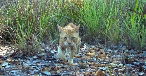 «BB» se mobilise pour sauver 2 millions de chats sauvages australiens !
