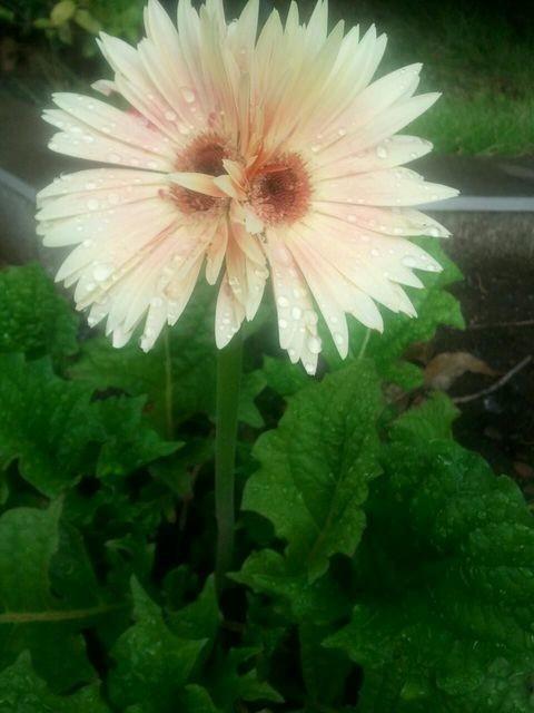 A Fukushima, des fleurs mutantes apparaissent alors que les habitants reviennent (PHOTOS)