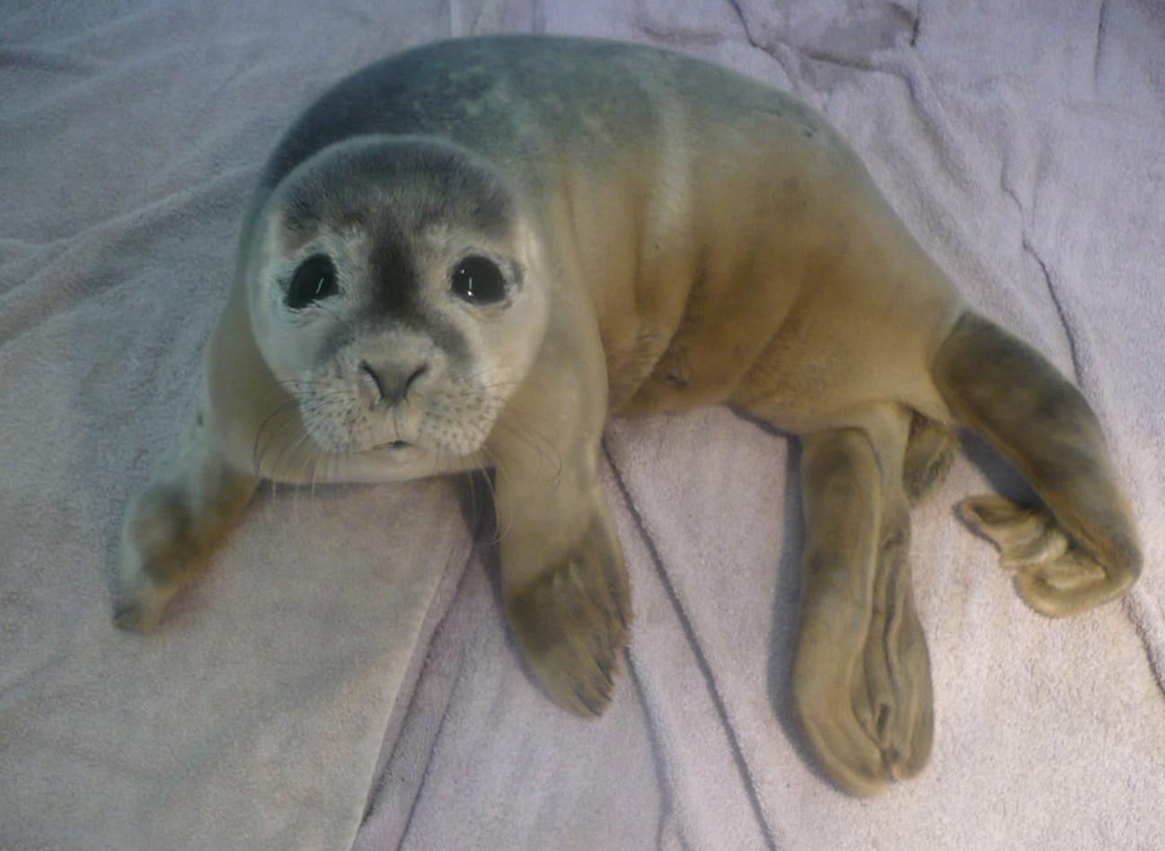 Une bébé phoque sauvée par des vaches en Angleterre