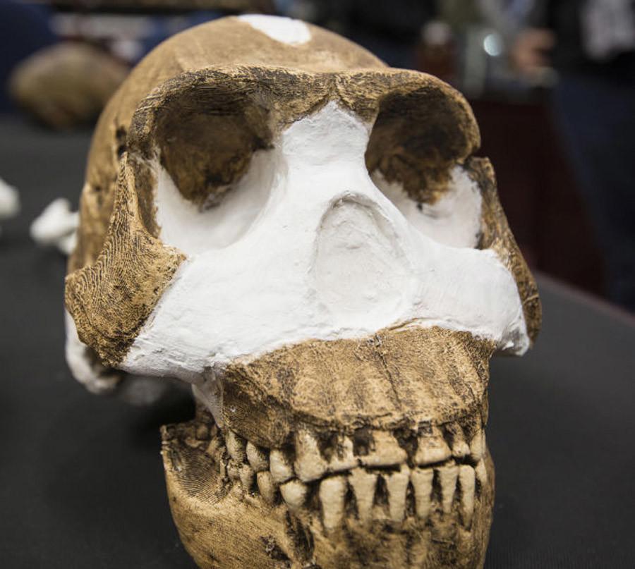 Un crâne d'Homo Naledi