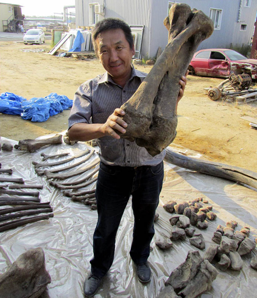 Le squelette d'un ancêtre du mammouth laineux de 126 000 ans découvert en Sibérie (PHOTOS)