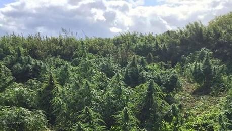 Cannabis découvert dans la banlieue de Londres