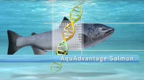 Le «Frankenfish» : premier animal génétiquement modifié autorisé à la consommation aux Etats-Unis