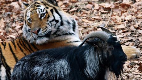 Un tigre et un bouc, amitié inédite