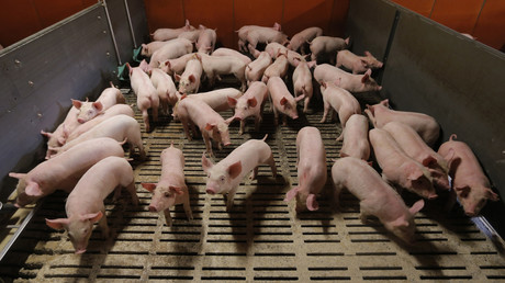 Elevage de porcs près de Strasbourg