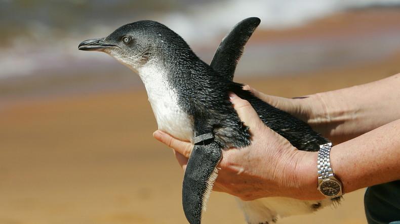 br sil chaque ann e un pingouin ferait 8 000 km pour retrouver l 39 homme qui l 39 a sauv rt en. Black Bedroom Furniture Sets. Home Design Ideas