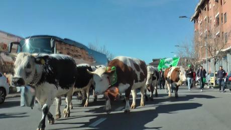 Vaches et tracteurs défilent à Turin contre la crise laitière