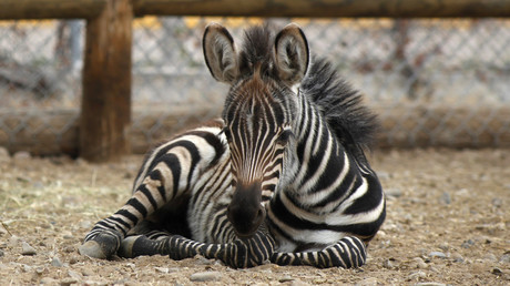 Norvège : un zoo donne un zèbre décapité en pâture aux tigres à la vue des enfants
