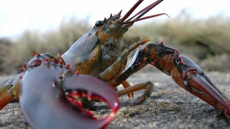 Des végétaliennes canadiennes aident un homard à faire un voyage du supermarché jusqu'à l'océan