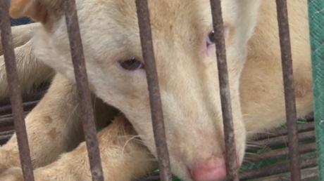 Festival de la viande de chien en Chine : attention, images choquantes