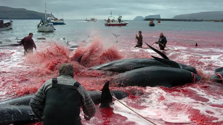Massacre annuel des baleines dans les îles Féroé, les activistes protestent (IMAGES CHOCS)