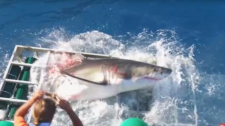 Images choc d'un grand requin blanc qui détruit la cage d'un plongeur en Guadeloupe
