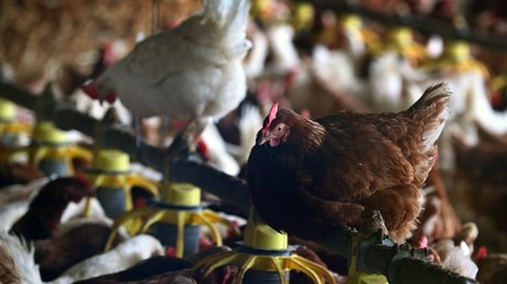 Poulets mis en quarantaine en Allemagne après une alerte de grippe aviaire