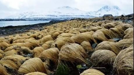 Un champ de «perruques de Donald Trump» découvert en Norvège