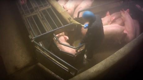 Un employé de l'abattoir de Houdan en train d'éléctrocuter un cochon