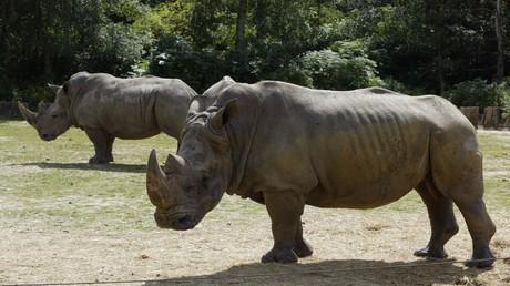 Deux rhinocéros du zoo de Thoiry, en août 2002 (photographie d'illustration)