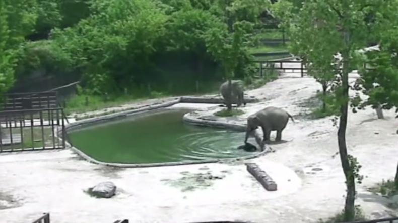 Une paire d'éléphants sauve un éléphanteau de la noyade dans un zoo de Séoul (VIDEO)