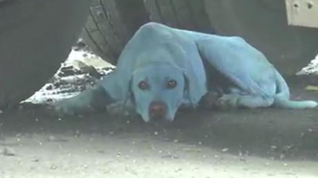 Inde : des chiens errants deviennent bleus à cause d'eaux contaminées à Bombay