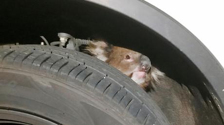 Australie : un koala sauvé après avoir voyagé sur 16 kilomètres dans un passage de roue