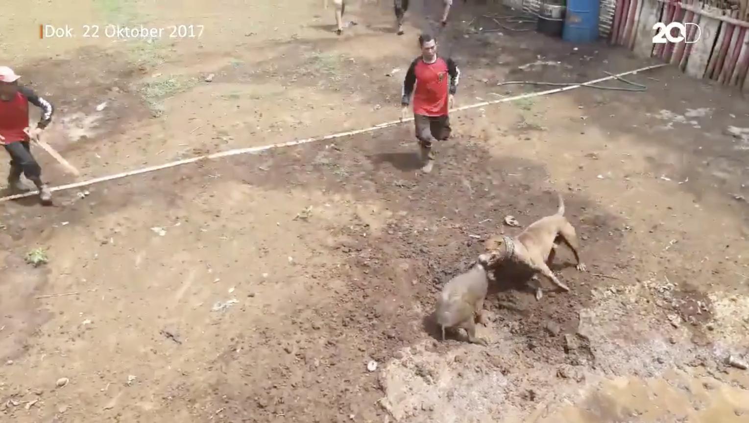 Pitbull vs sanglier : le spectacle indonésien qui choque les défenseurs des animaux (IMAGES)