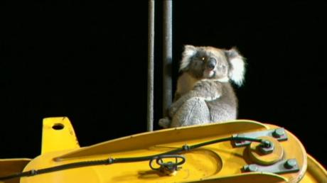 Sauvetage émouvant d'un koala coincé sur une tour de forage en Australie